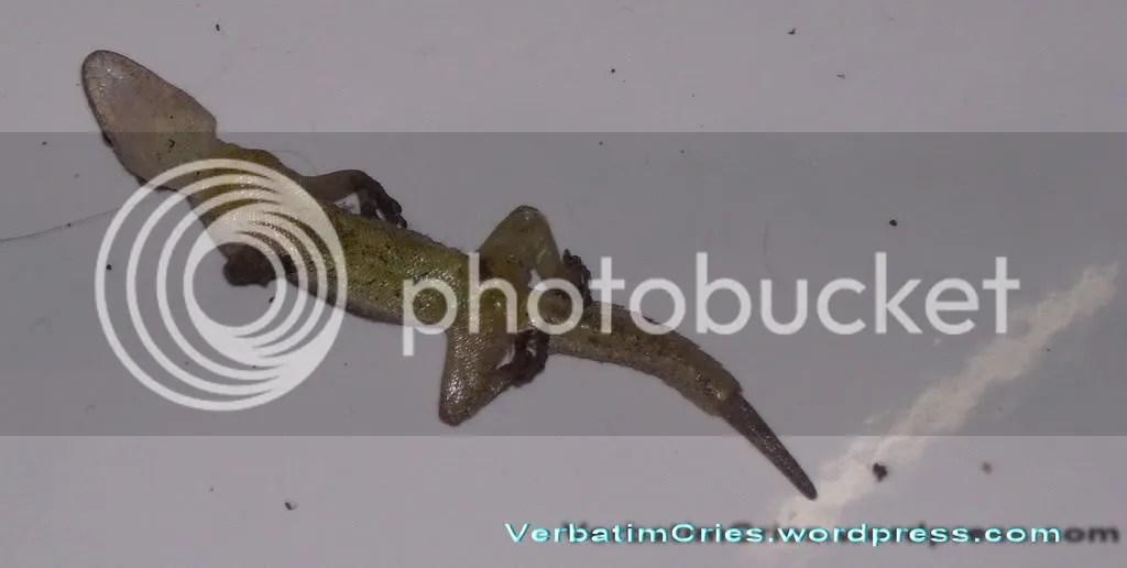 dead lizard