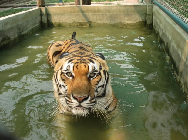 Chiang Mai tiger