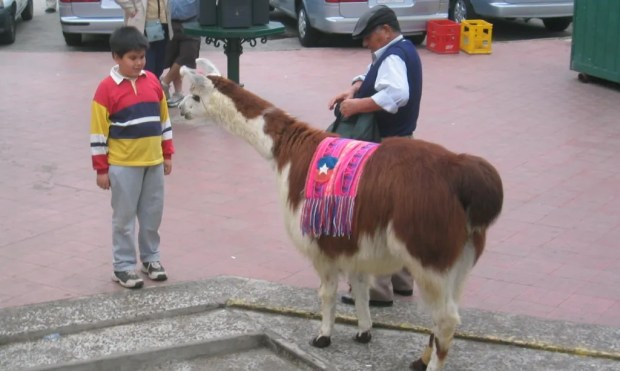 Llama Chile