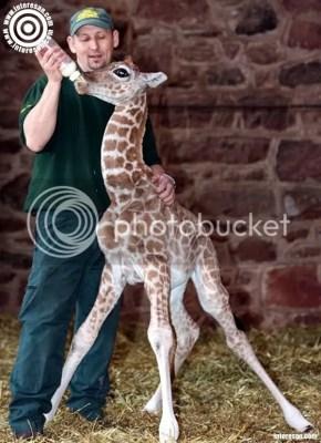 2 Hafta erken doğan zürafa ve beslenmesi
