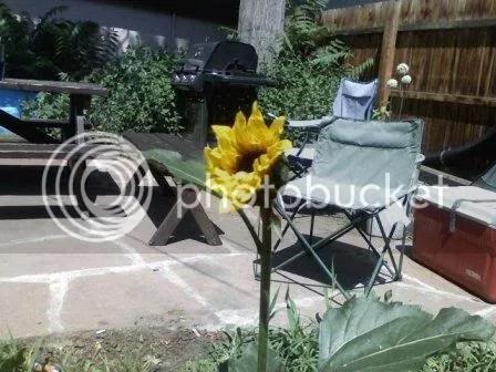 marion st. sunflower