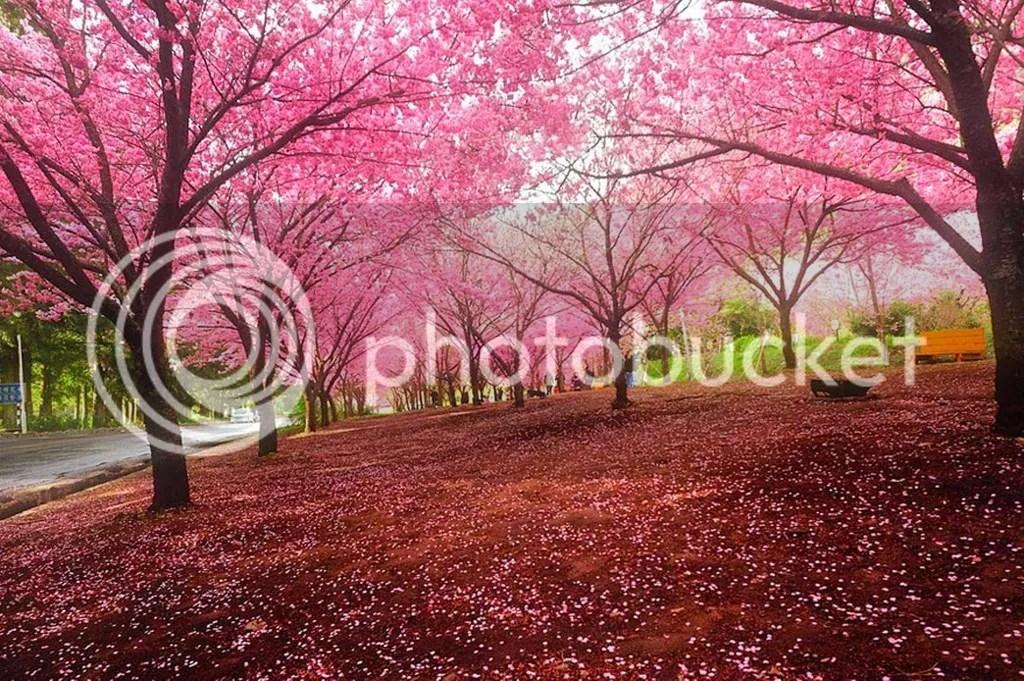 photo Cherry-Blossom-_zpsydp0virr.jpg