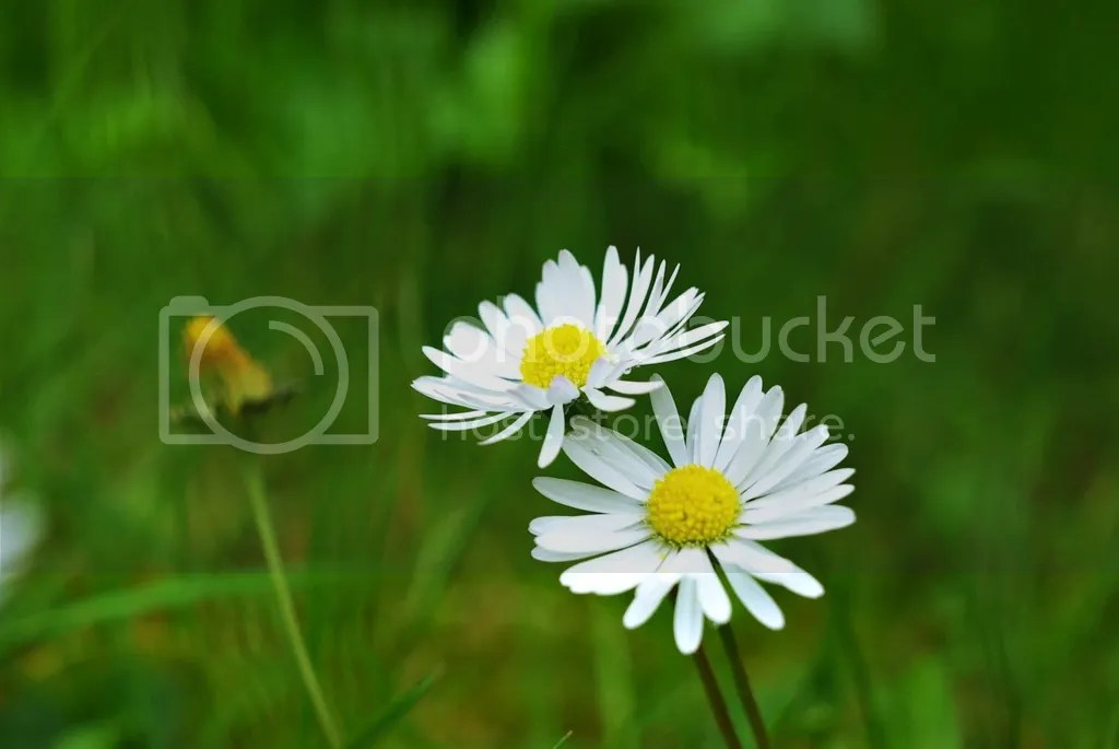 photo Daisies white_zpsmipnvzvc.jpg