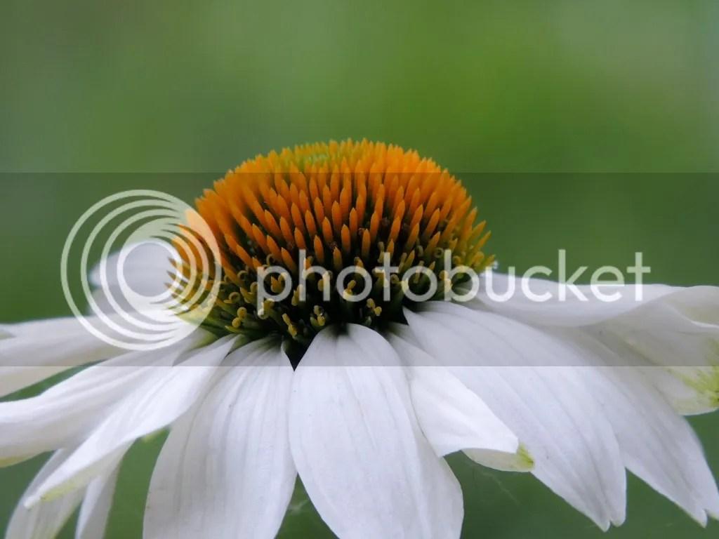 photo CuacutecD1EA1i-Echinacea_zps9d802c9d.jpg