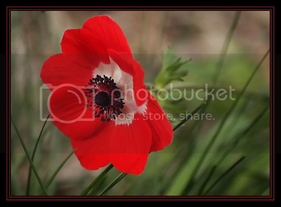 photo First_Anemone_This_Season__by_Firey_Sunset_zps64a51876.jpg