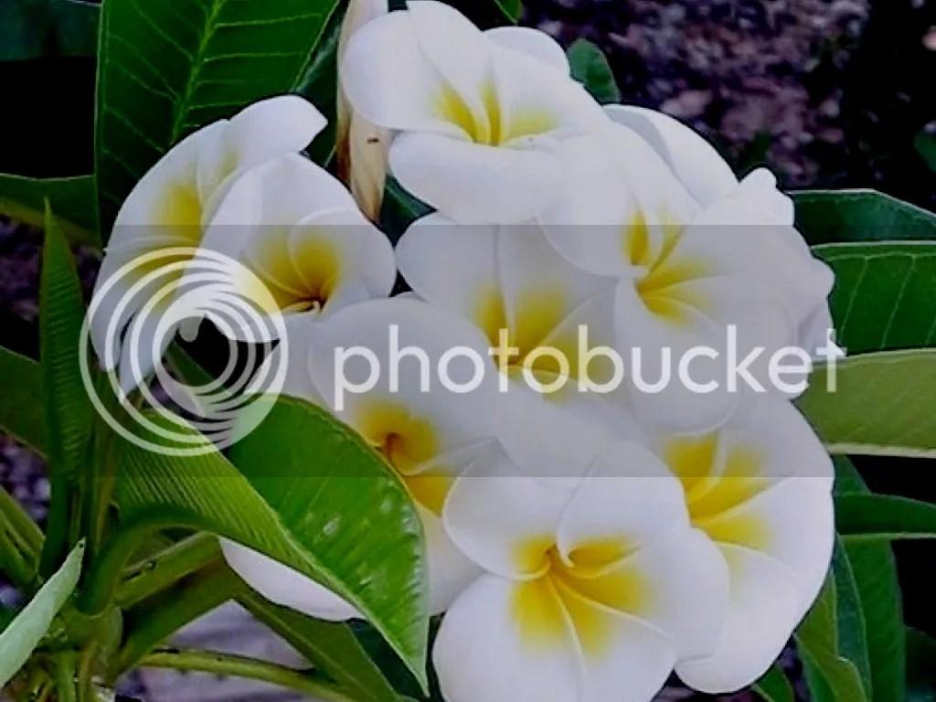 photo Plumeria_zpsd128ed0f.jpg