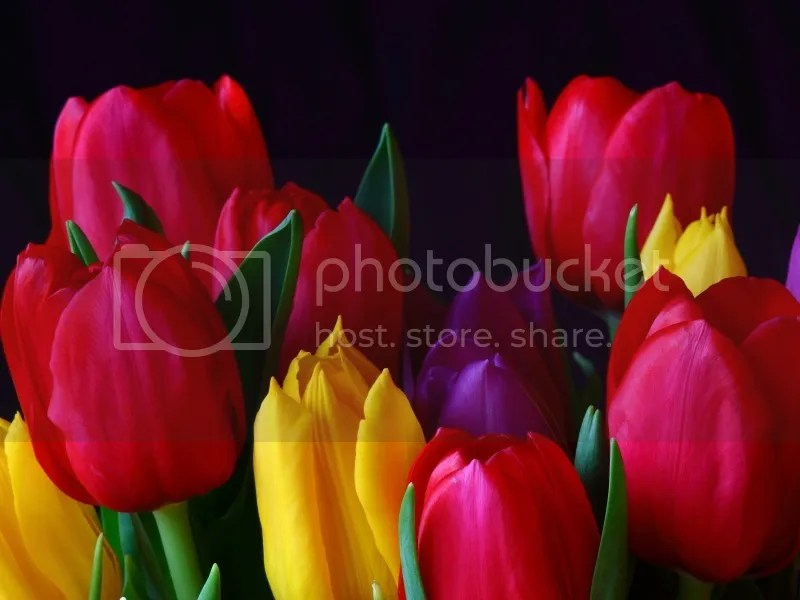 photo Tulips_zpsphqvavlz.jpg