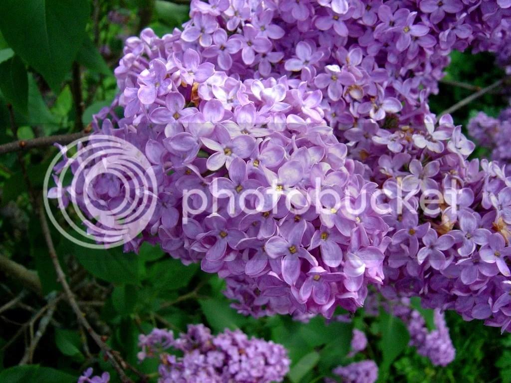 lilac photo lilac_zps2zs0ezih.jpg