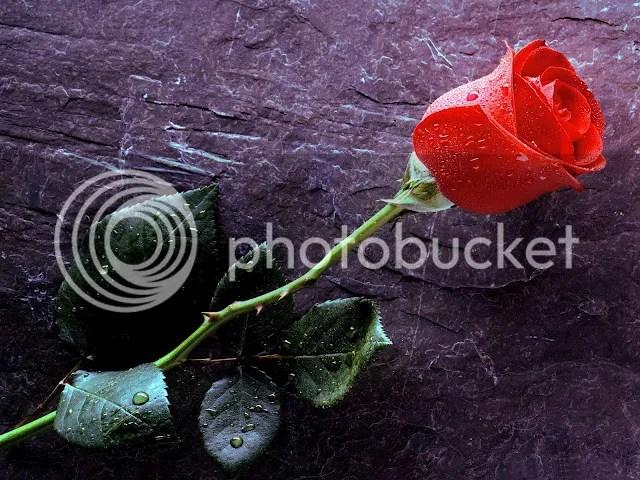 photo rose single_zpsdwu29lzg.jpg