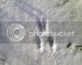 Rabbit tracks in Ohio snow