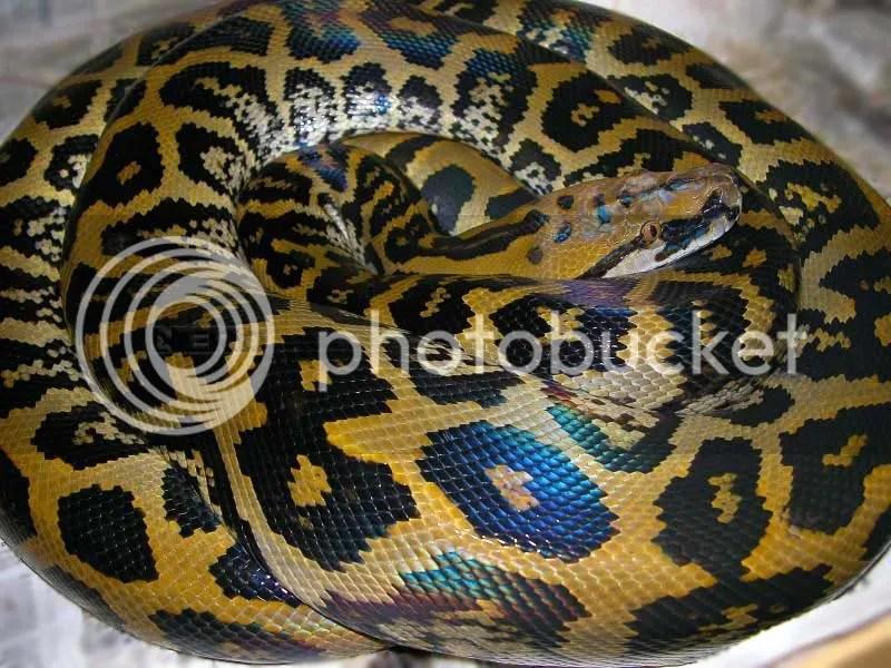 green granite burmese python