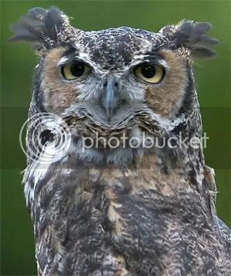 I'm great, I'm horned, I'm an owl. Basically, I kick ass