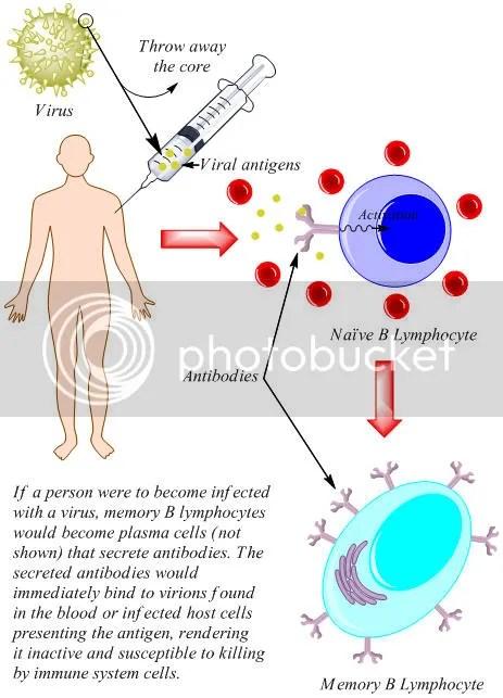 Vaksinasi Hepatitis B   PPDictionary