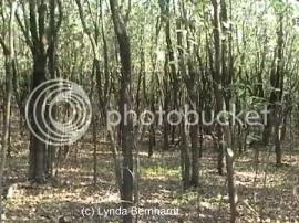 Woods (c) Lynda Bernhardt