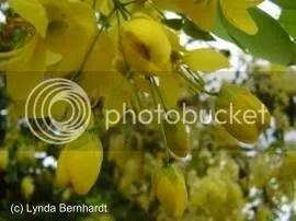 Yellow Flowers (c) Lynda Bernhardt