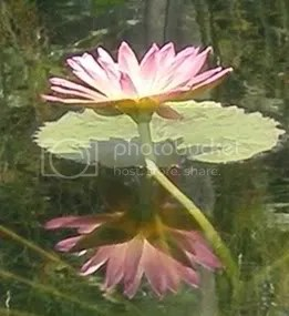 Lotus Reflection 2 (c) Faith Allen