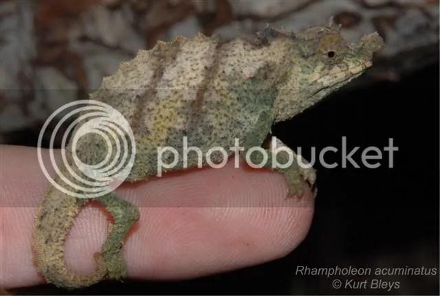 Resultado de imagen de Rhampholeon (Rhinodigitum) acuminatus