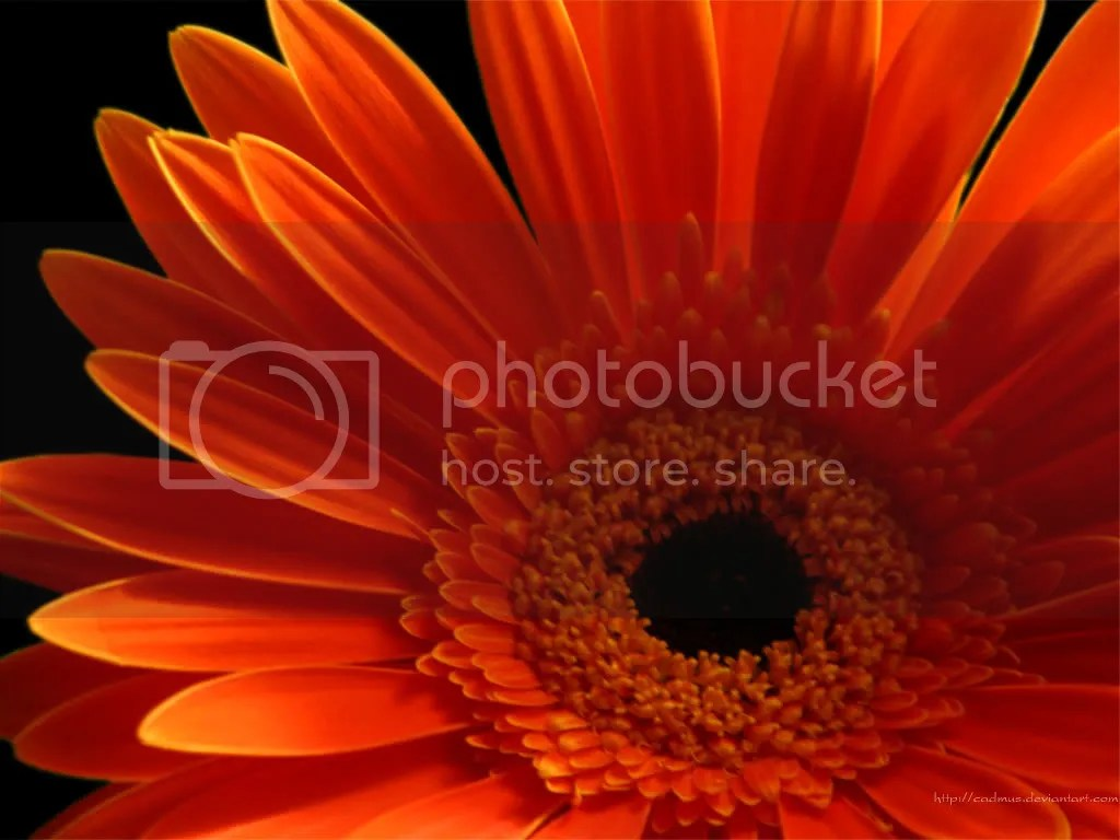 gerber daisy Pictures, Images and Photos