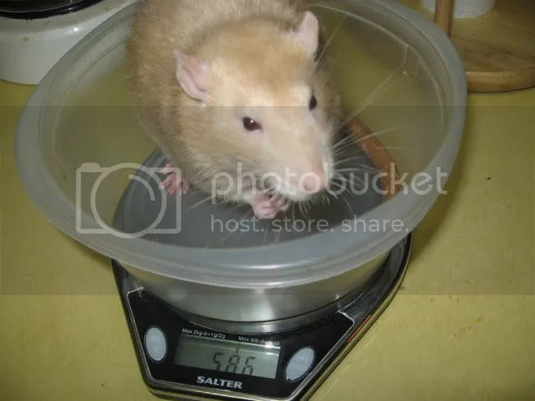 Fortissimo has his weight checked and weighs 586 grams!