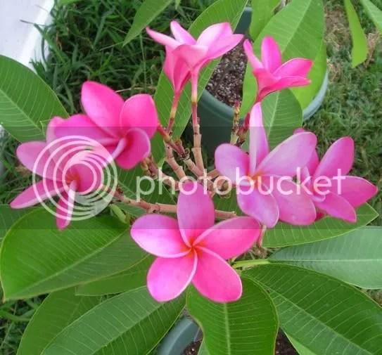 Miami Rose plumeria