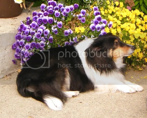 A Sheltie lying down in front of pansies