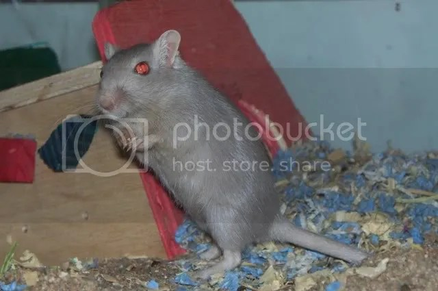 An elegant pale-grey female gerbil named Trinity.  I did not choose this name either.