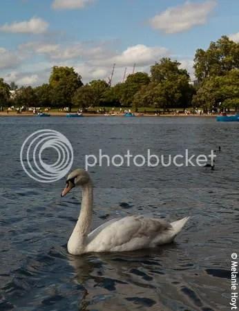 Swan Friend!