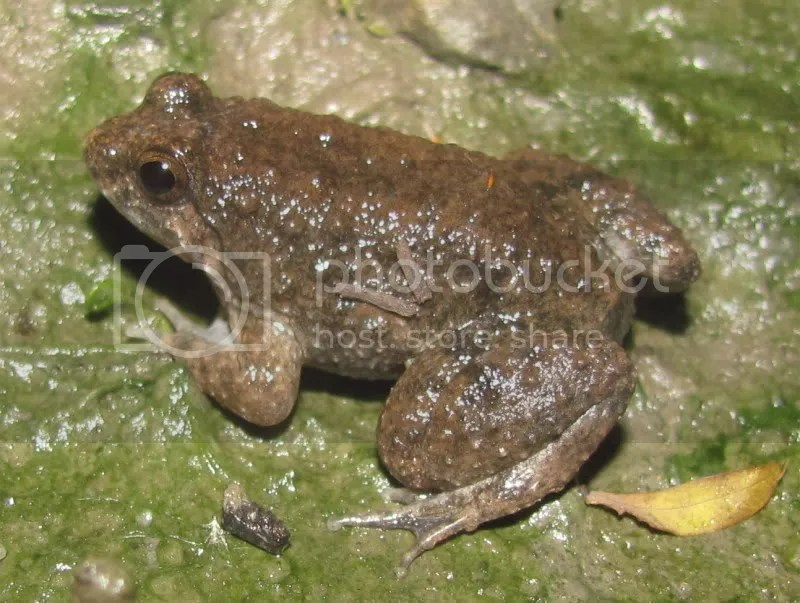 Round-tongued Floating Frog