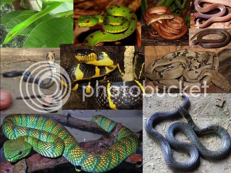 snakes of manila