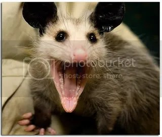 Smiling possum Pictures, Images and Photos