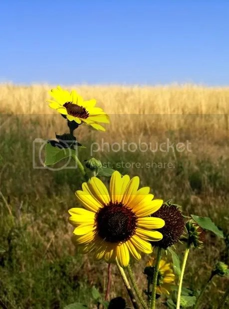 sunflower wyoming prairie