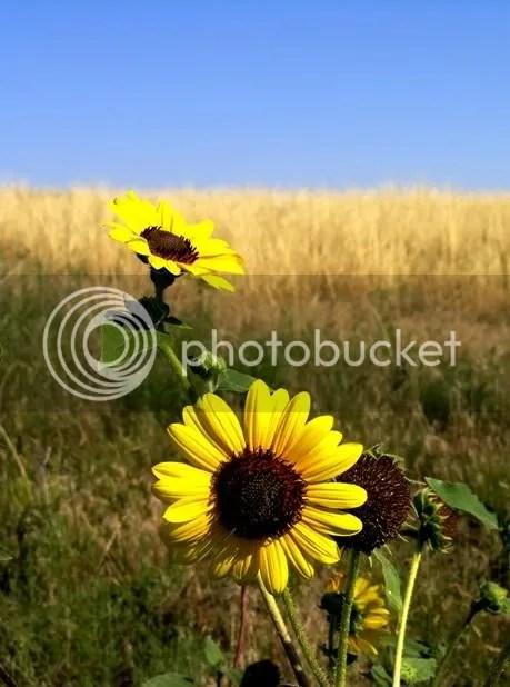 sunflower wyoming prairie