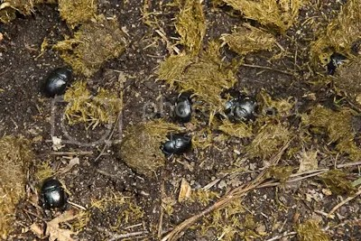 Een paardendrol, een lekkere lunch voor mestkevers en hun kroost