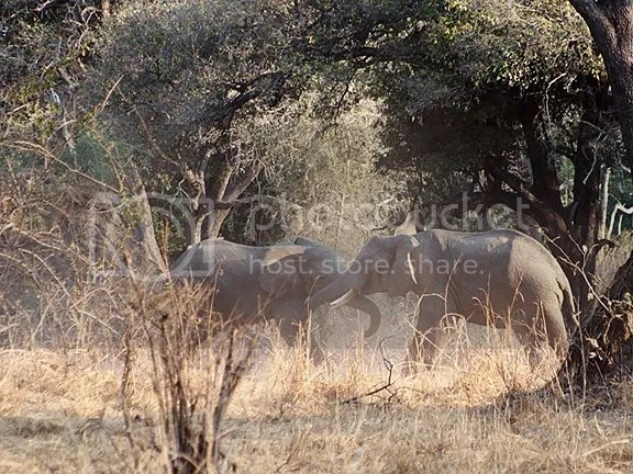 Elephant Boys At Play