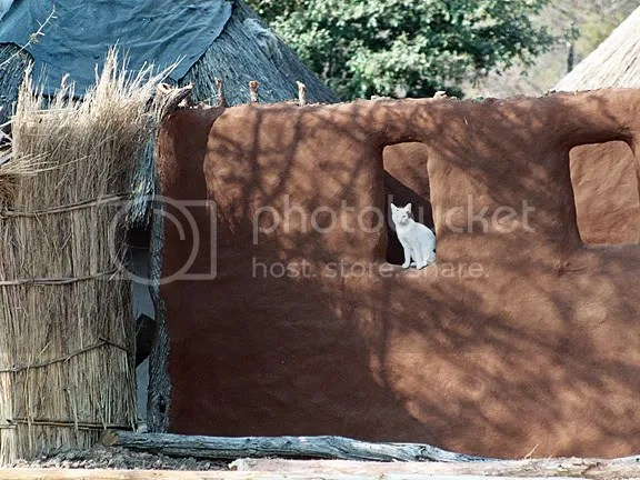 Cat In Zambia