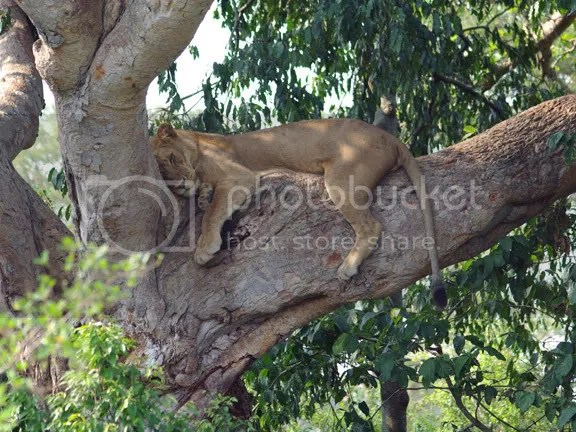 Ishasha Tree Sleeping Lion