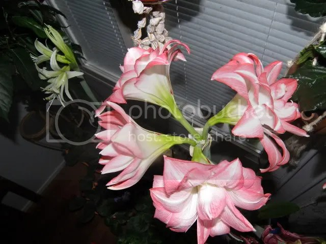 photo HippeastrumBlossomPeacock2.jpg