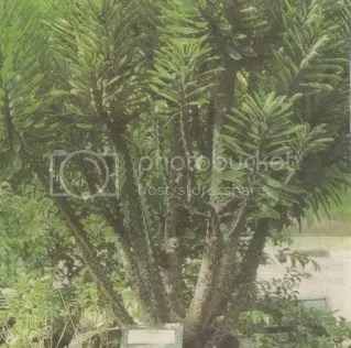 pokok sesudu