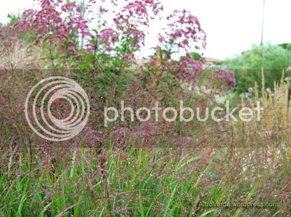 eupatorium atropurpureum, panicum virgatum 'Shenandoah' and calamagristis 'Stricta'