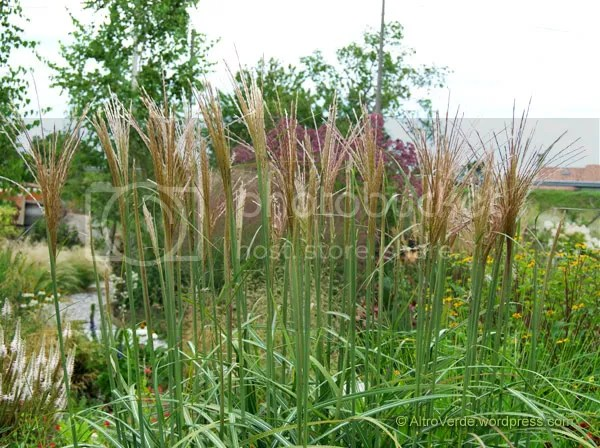 Miscanthus purpurascens, rudbekia triloba on the right and veronicastrum on the left
