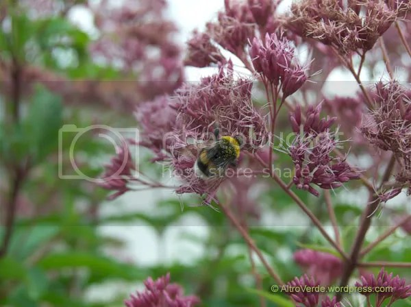 Eupatorium attracts bees, butterflies and many other little bugs