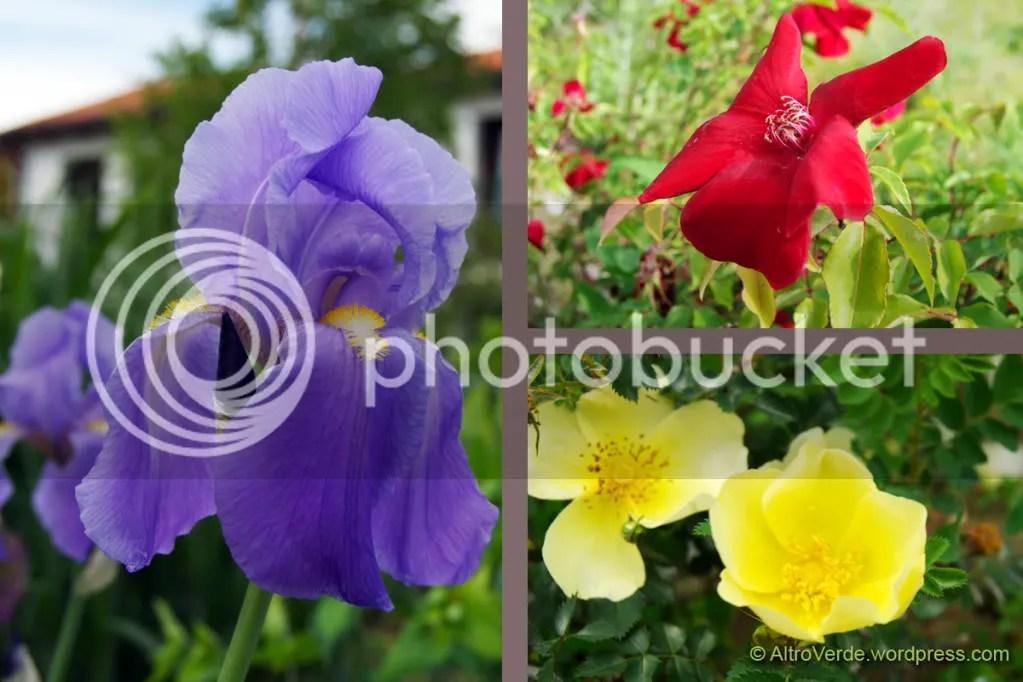 Blue: iris Pallida - Magenta: rosa chinensis Sanguinea - Yellow: rosa Ormiston Roy