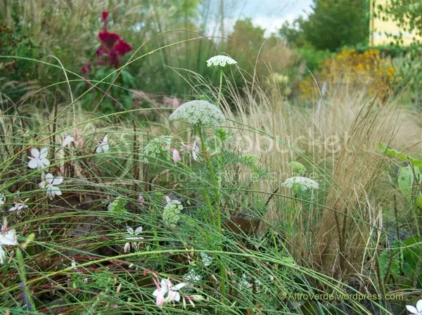 Amni visnaga over gaura, stipa and plantago major purpurea