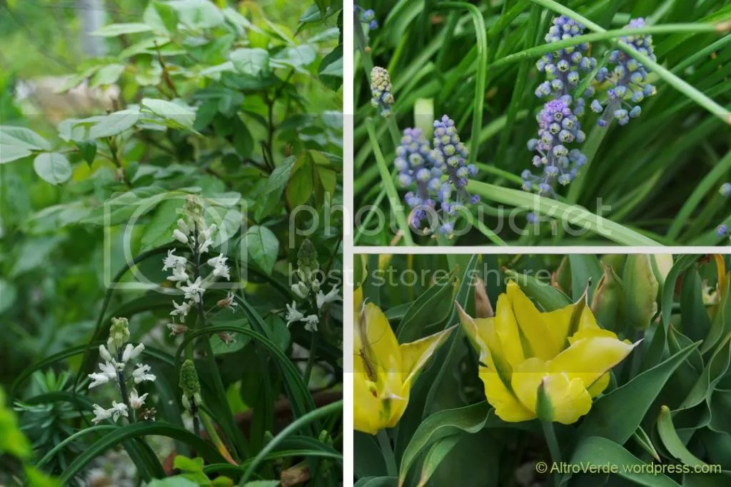 Clockwise: bellevalia romana, muscari 'Green eyes', unknown tulip viridiflora