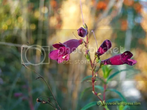 Penstemons are very reliable plants and they are easy from cuttings too. This is Black Bird.