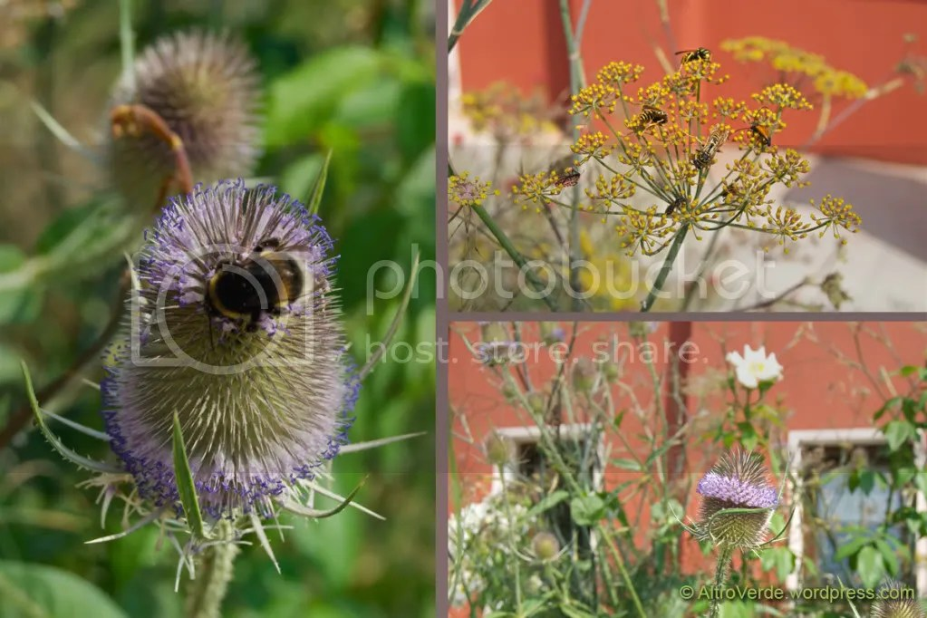 Dipsacus sylvestris, bronze fennel and rosa Sally Holmes