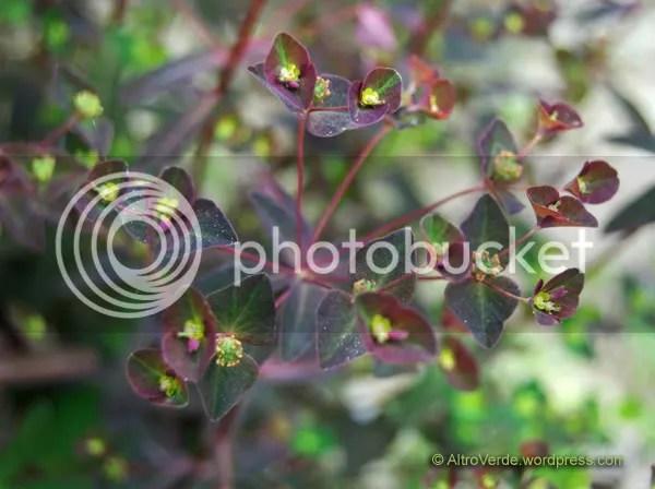 Euphorbia Chocolate?