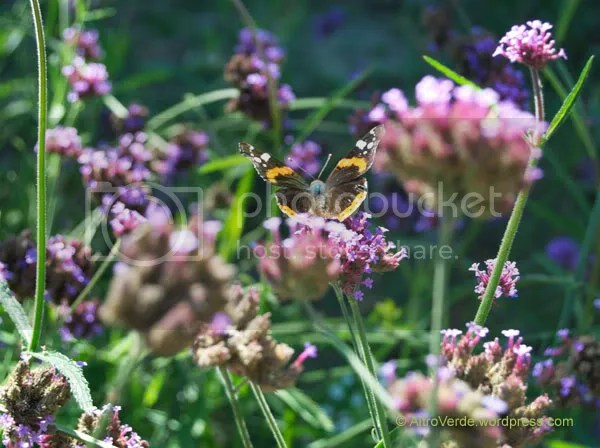 A fat and furry butterfly feeding on verbena bonariensis