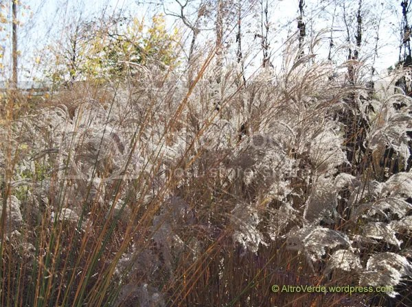 The strong miscanthus sinensis Ferne Osten and the tall yellow stems of molinia Transparent