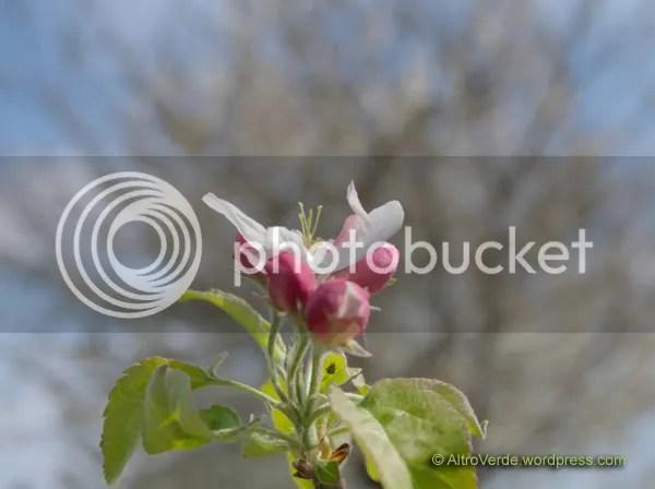 Apple tree 'Granny Smith'